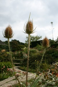 Picture of Teasel